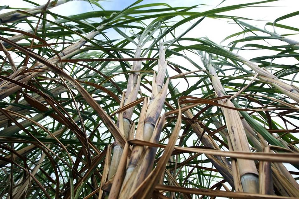 Empresa desenvolve primeira variedade de cana geneticamente modificada